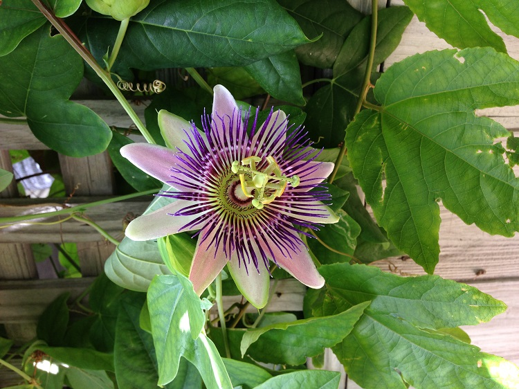 Exotic Purple Passion Flower Pops out of Key West Garden Fence