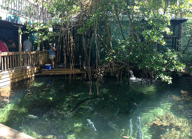 mangroves at the Key West Aquarium